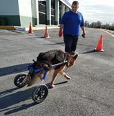 Felçli Köpek Yürüteçle Hayata Bağlandı